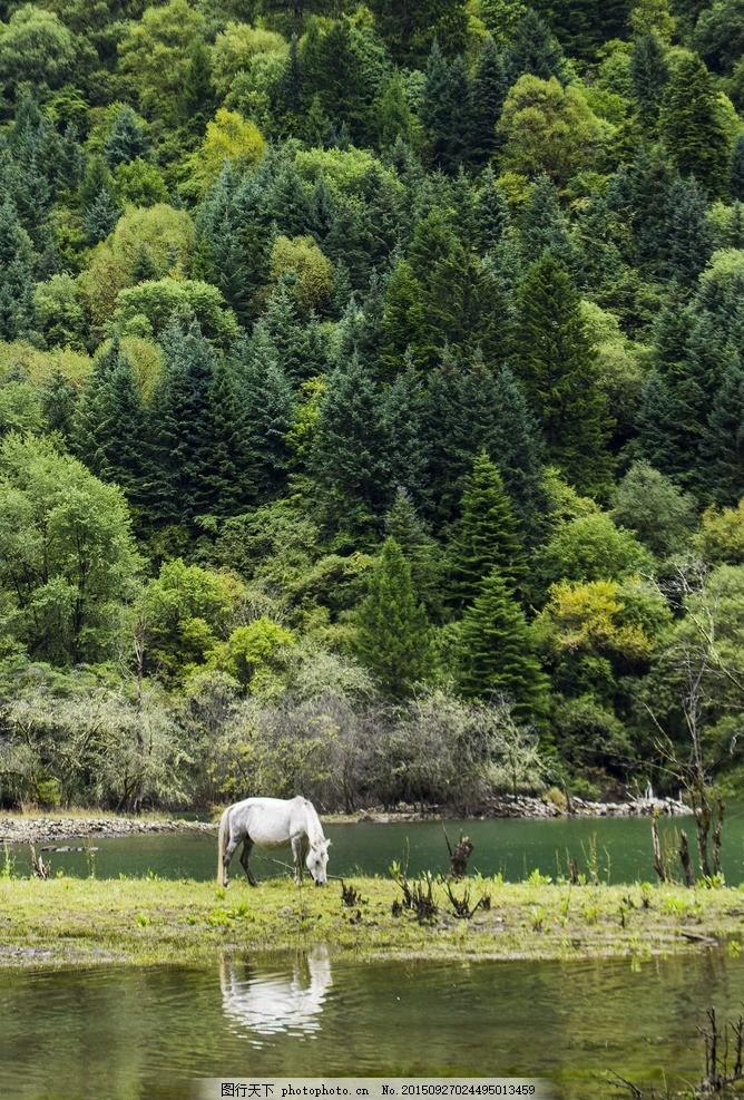 白马 沼泽湿地 牧马 野马 骏马 放牧 草地 自然风景 摄影