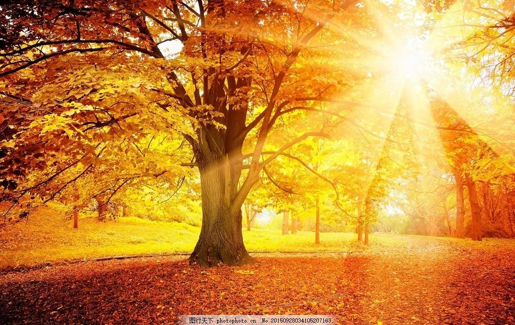 自然风景  秋天 秋景 金秋 金色 阳光 大树 树林 森林 树叶 落叶 自然