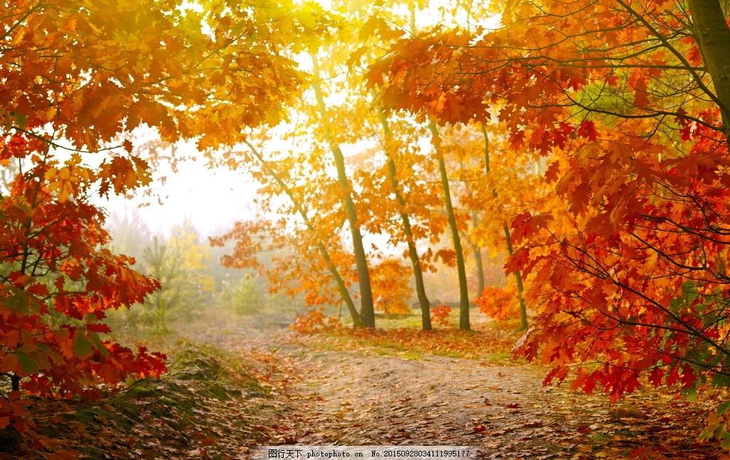 秋天 小路 红叶 秋景 金秋 金色 阳光 大树 树林 森林 树叶 落叶 自然