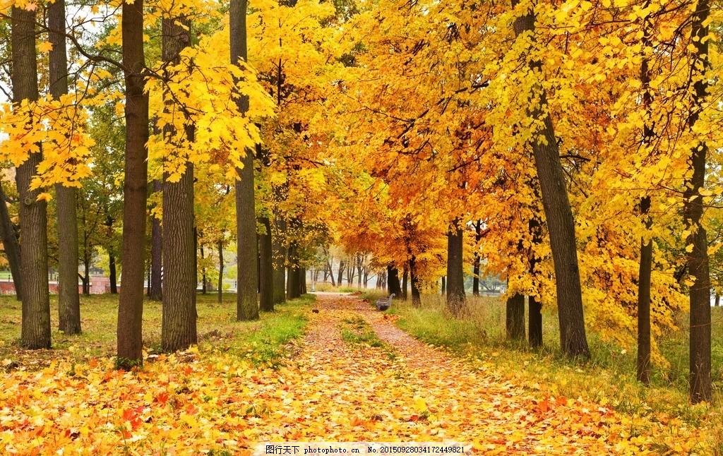 秋天 道路 大路 秋景 金秋 金色 阳光 大树 树林 森林 树叶 落叶 自然