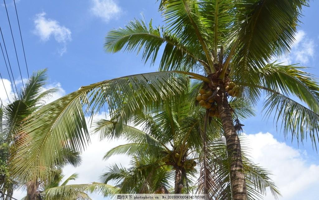 椰子树 椰树 椰子 热带 植物 树 海南风光 蓝天 白云 海南风光 摄影